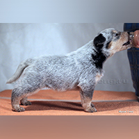 photo of a australian cattle dog puppy in a rack