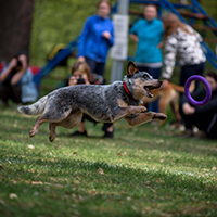 australian cattle dog Lanveng Shall We Play - Dip