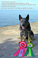 australian cattle dog Gerax Syn Glena