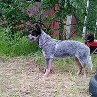 australian cattle dog Lanveng Shakti Guard